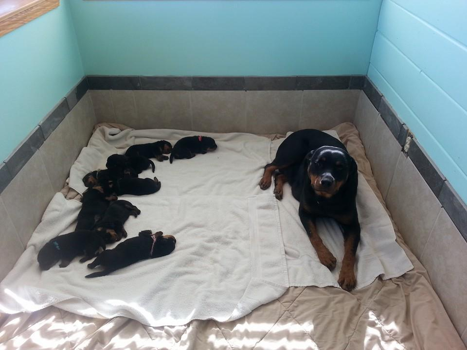 The space where mom and pups are should be clean and warm. This is our Whelping Room. Noticed the floor is covered, linens are clean, and even the walls are washed. Puppies are alert, clean and already coming to the gate to be picked up at 3.5 weeks. This is the same room as the picture above to the left. We decided to tile the floor and lower portion of the walls for increased sanitation and it has worked wonderfully for keeping mom and puppies healthy and clean!