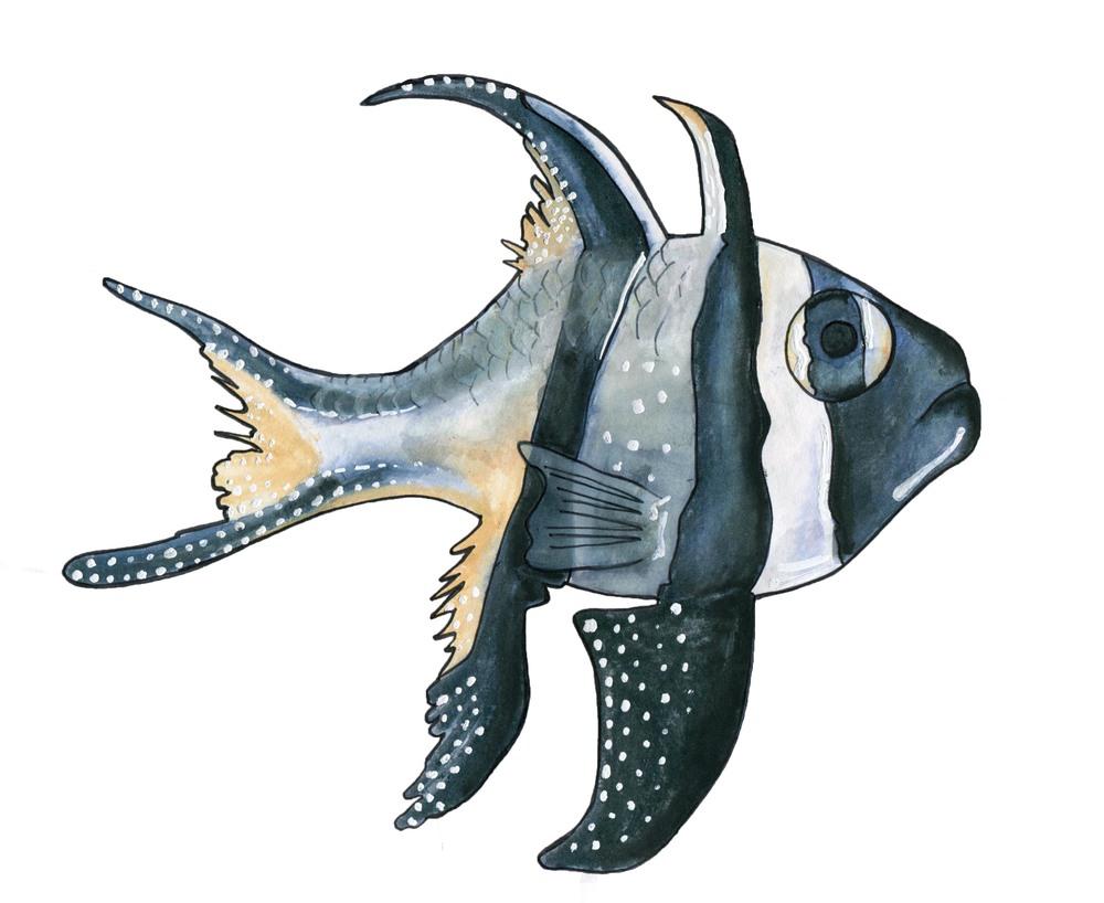 Banggai Cardinalfish, 2014 Watercolor pencil and ink on paper