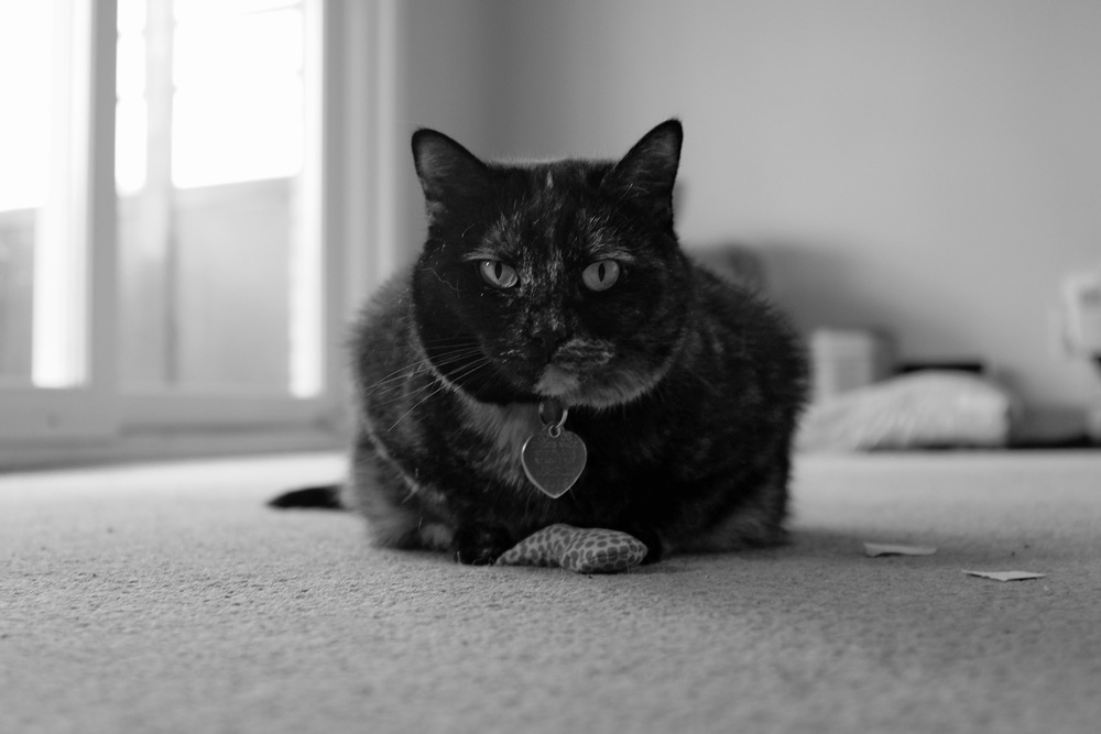Edie tripping balls on catnip protecting her toy for future sessions. Fuji x100s f2.8 1/60 ISO 640