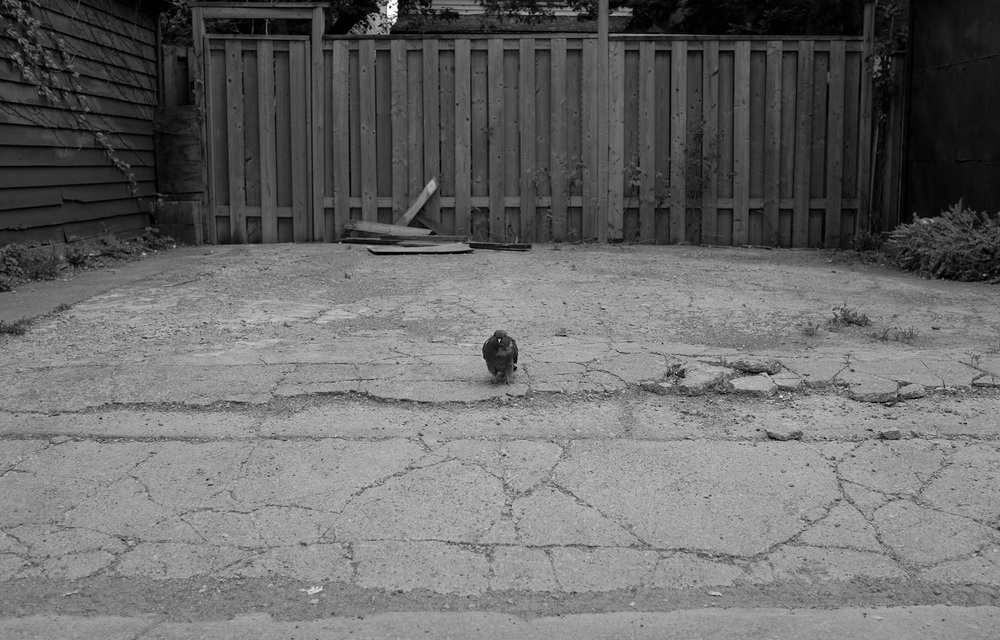 Pigeon-small.jpg