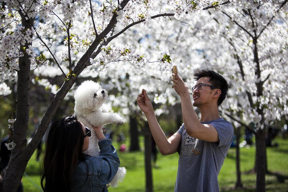 Cherry Blossom Trinity 2018-100dpi-2.jpg