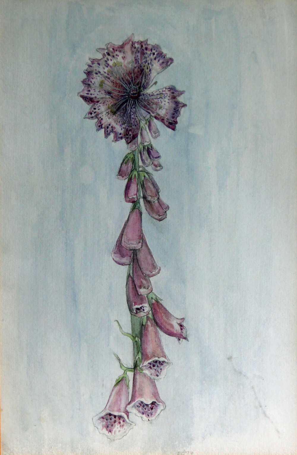 Pyloric Fox Glove