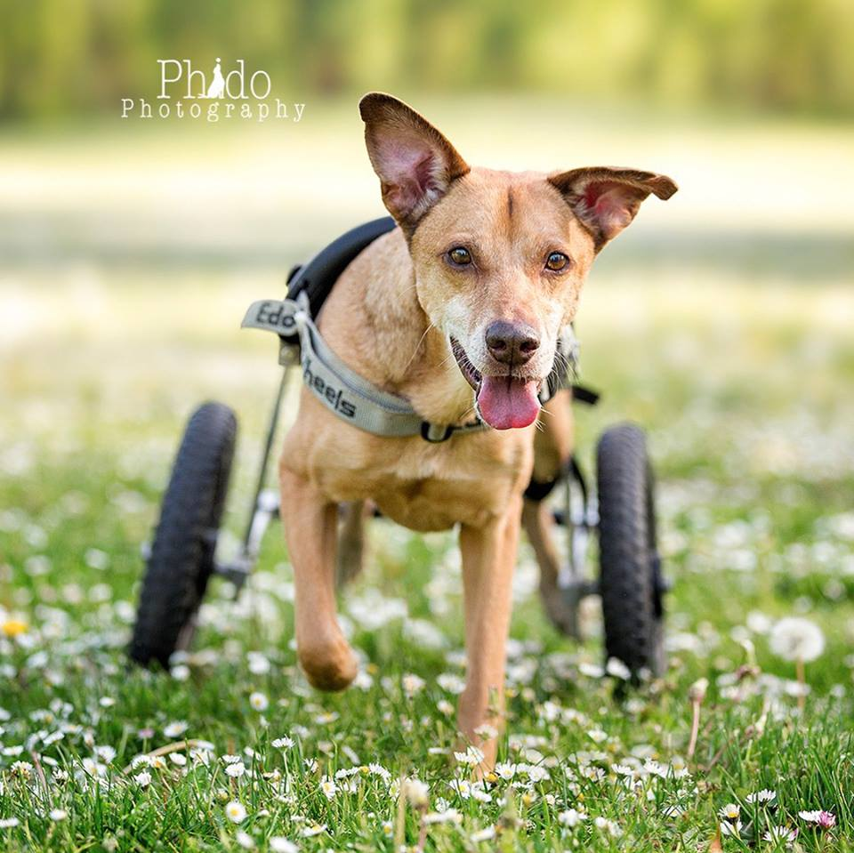 Papillo traveled from Costa Rica after an accident left his hind limbs paralyzed. Find out more about his story and the other eight canines that have found sanctuary at Angels with Misplaced Wings by visiting our Facebook page.