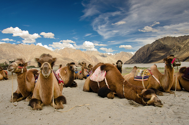 faineemae :      Bactrian Camels - Hunder, Nubra Valley  by  Souvik_Prometure  on Flickr.