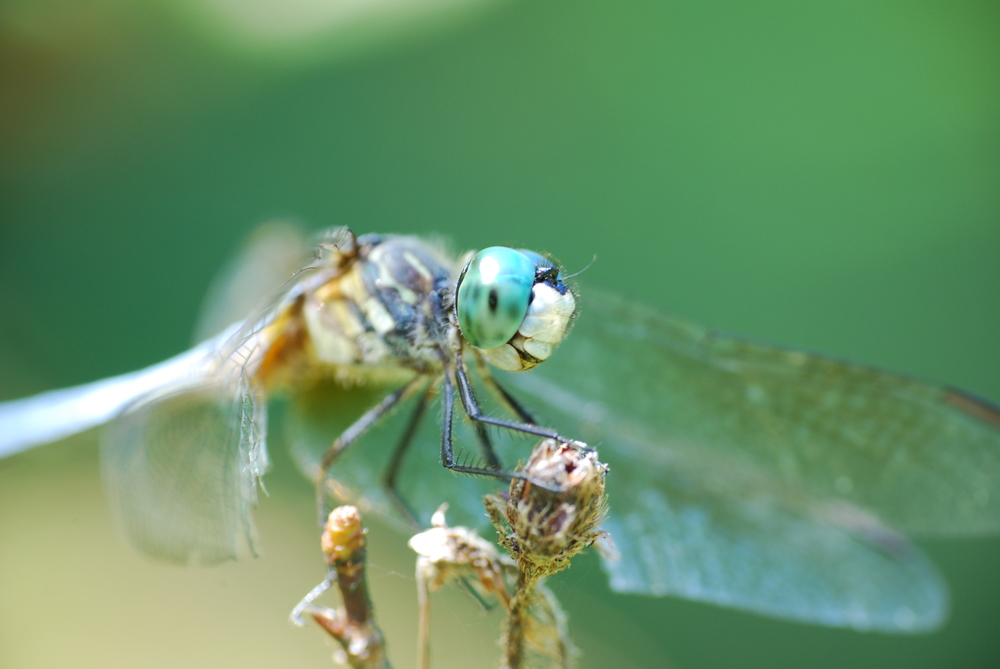 Dragonfly, lacy wings