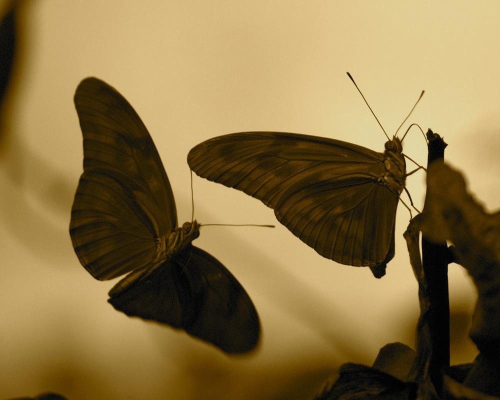 Costa Rican butterflies at sunset