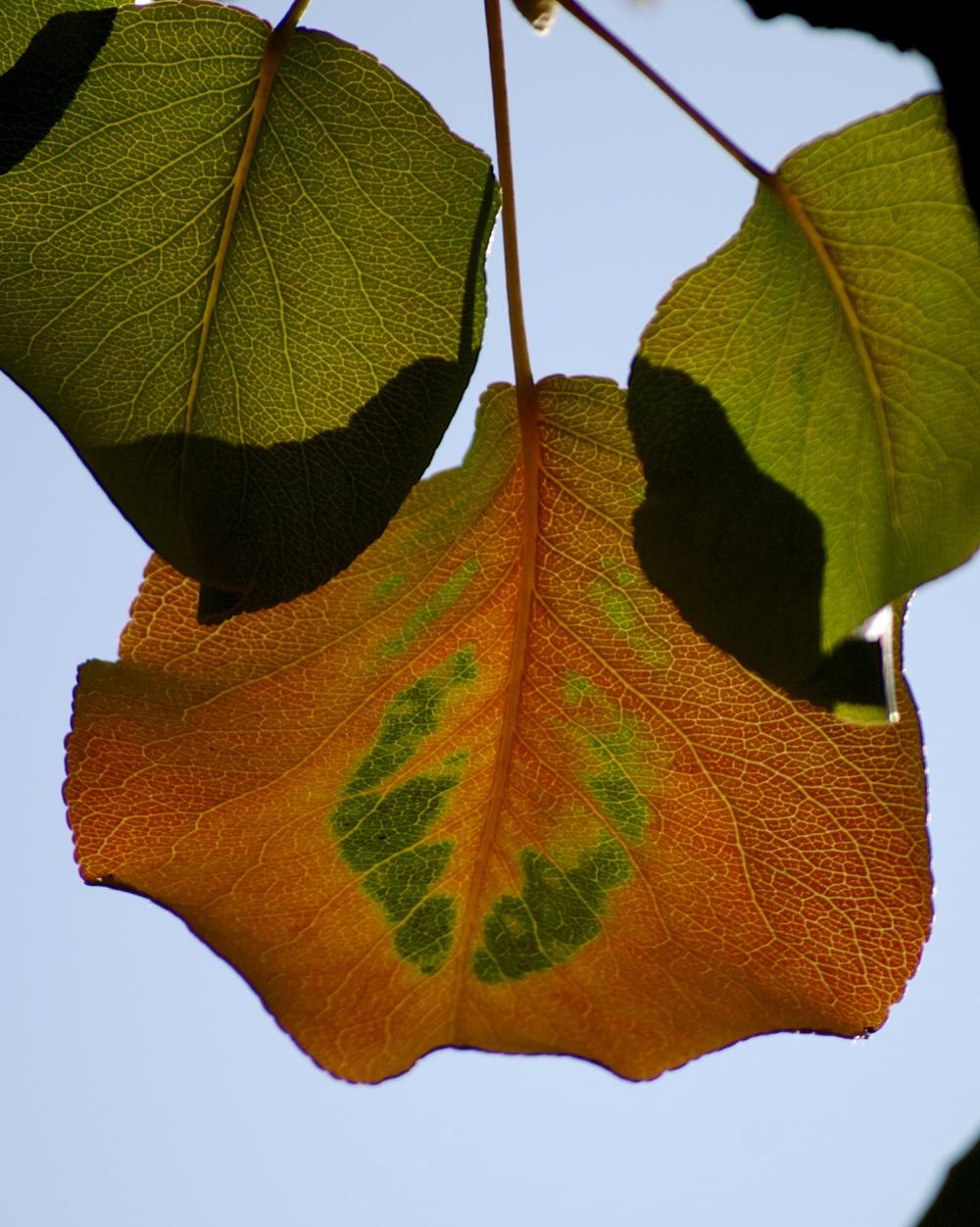 Callary Pear Leaves in Fall