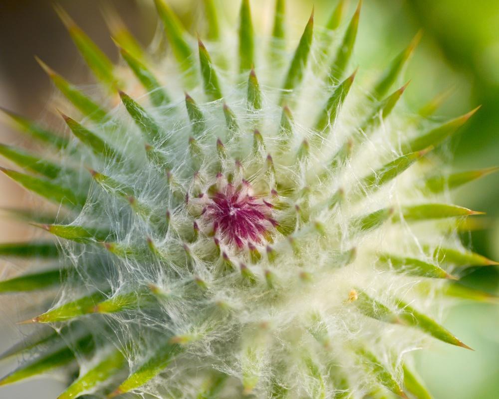 Fibonacci cacti