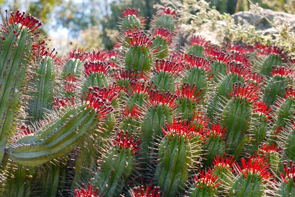 Fiery cacti