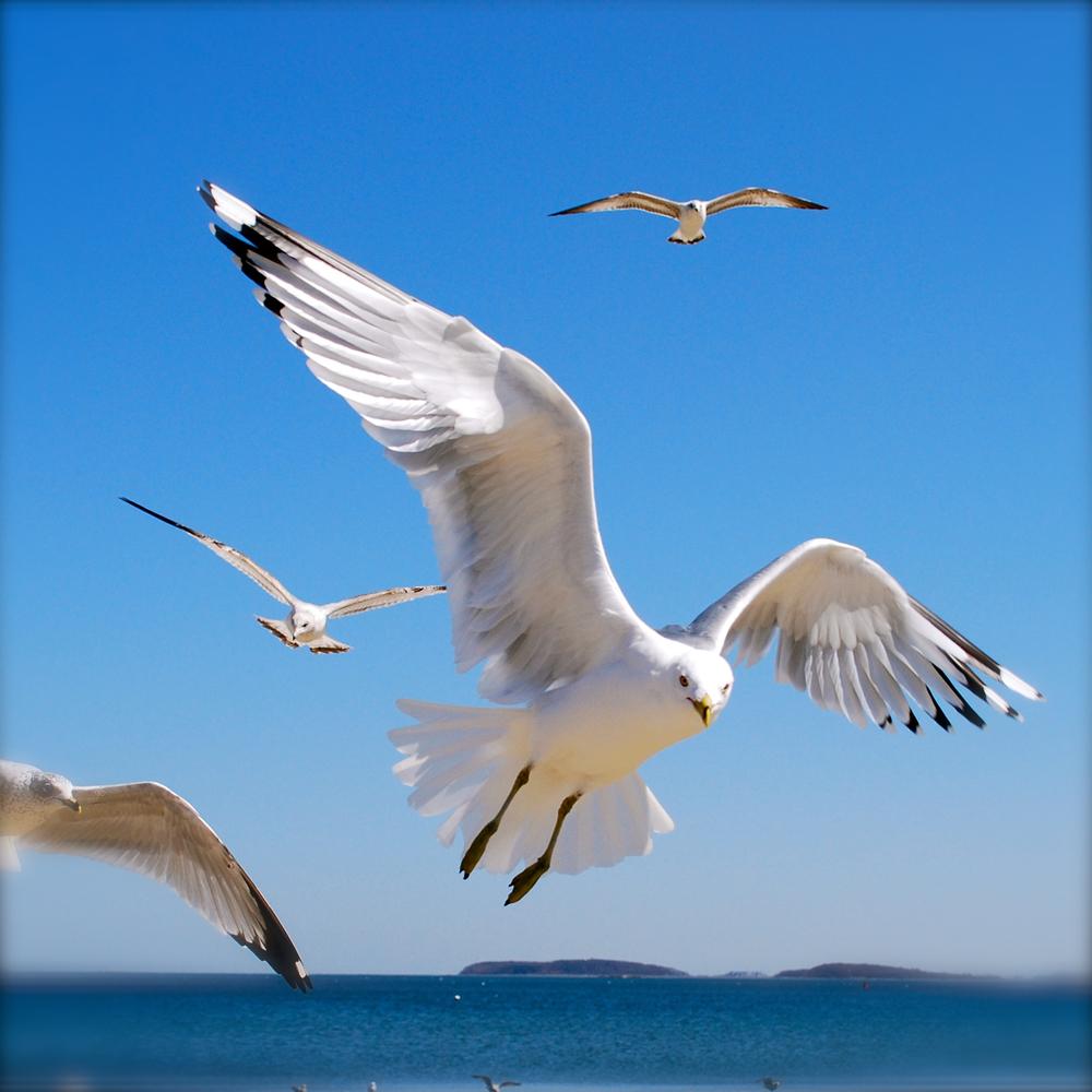 Seagull-midflight