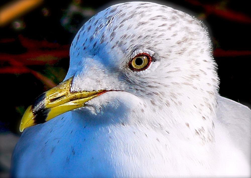Seagull w/red eyeliner