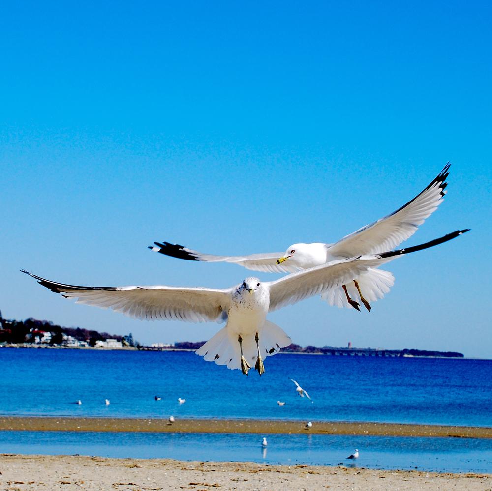 Seagulls, landing