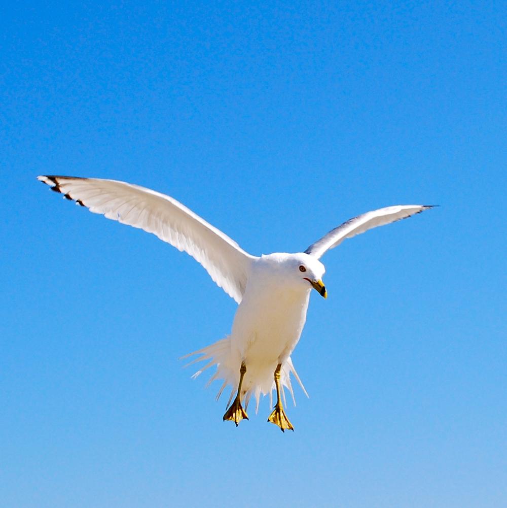 Seagull, landing