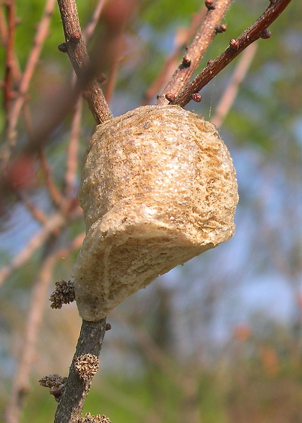 Another praying mantis egg case