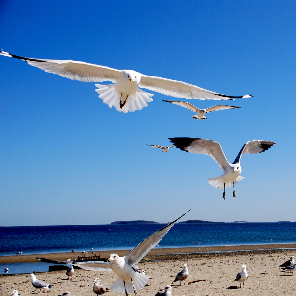 Seagulls, coming in for food