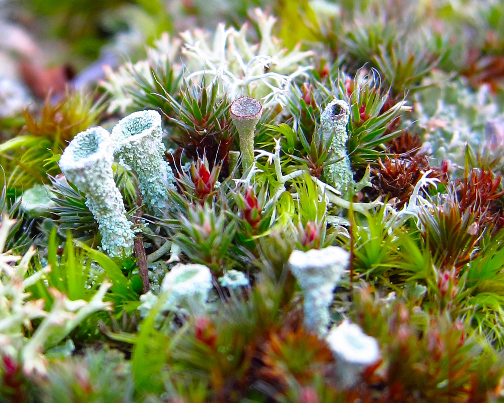 Pixie Cups and Moss
