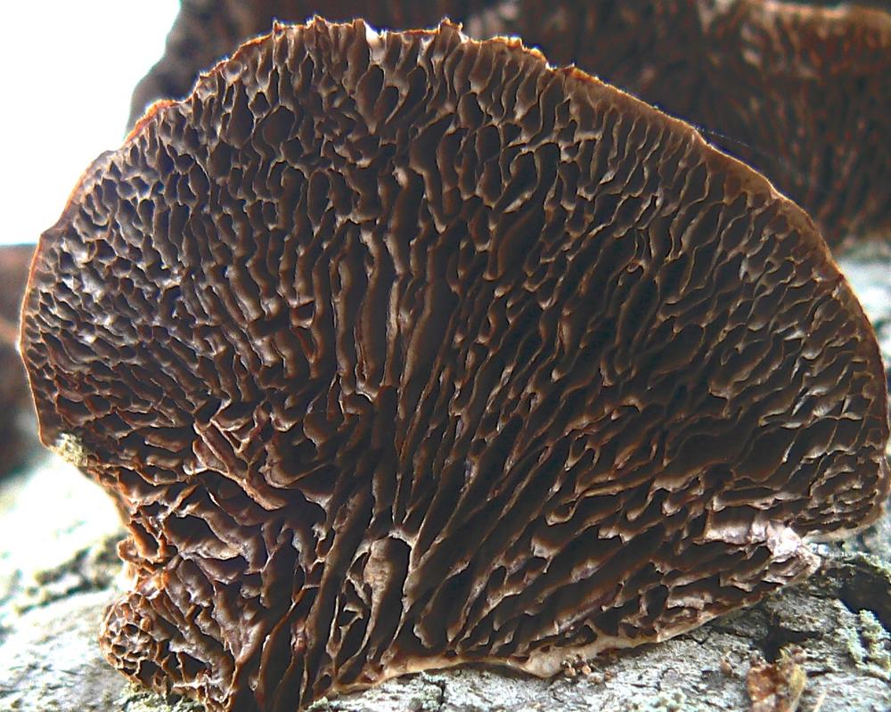 Shelf fungus - from underneath