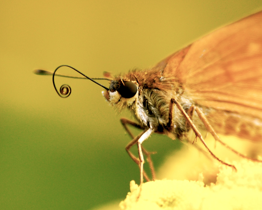 Butterfly with fuzzy, smiling face and curly proboscis