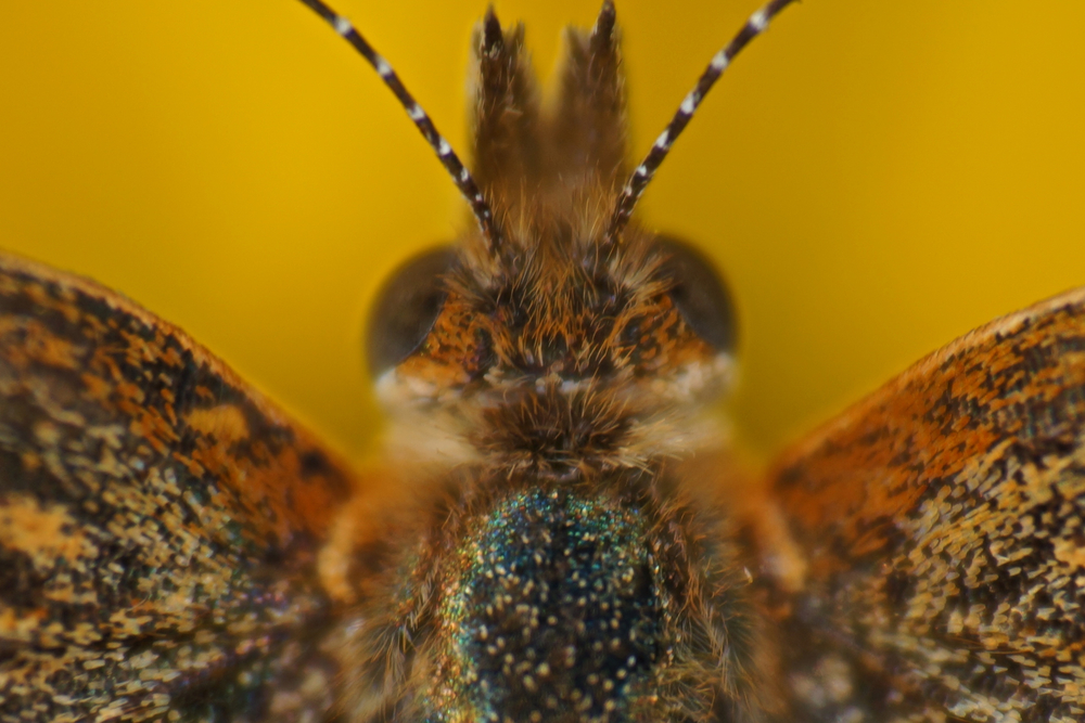 A VERY close up picture of a moth's eyes