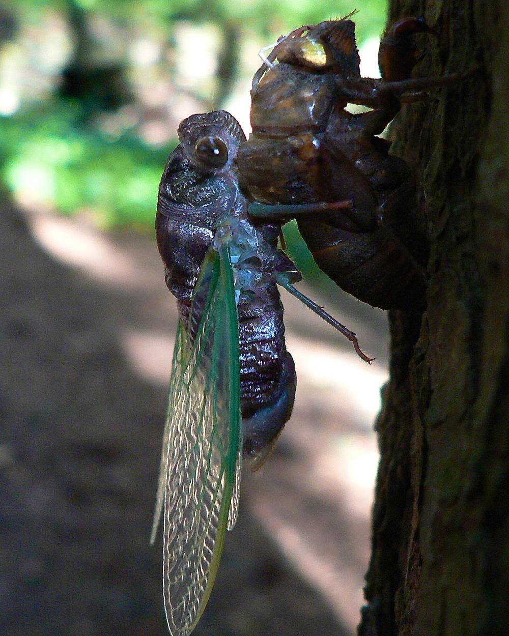 Just hatched cicada