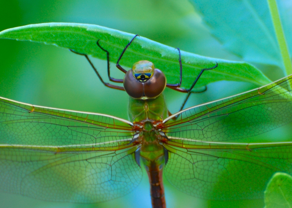 Third-eye dragonfly