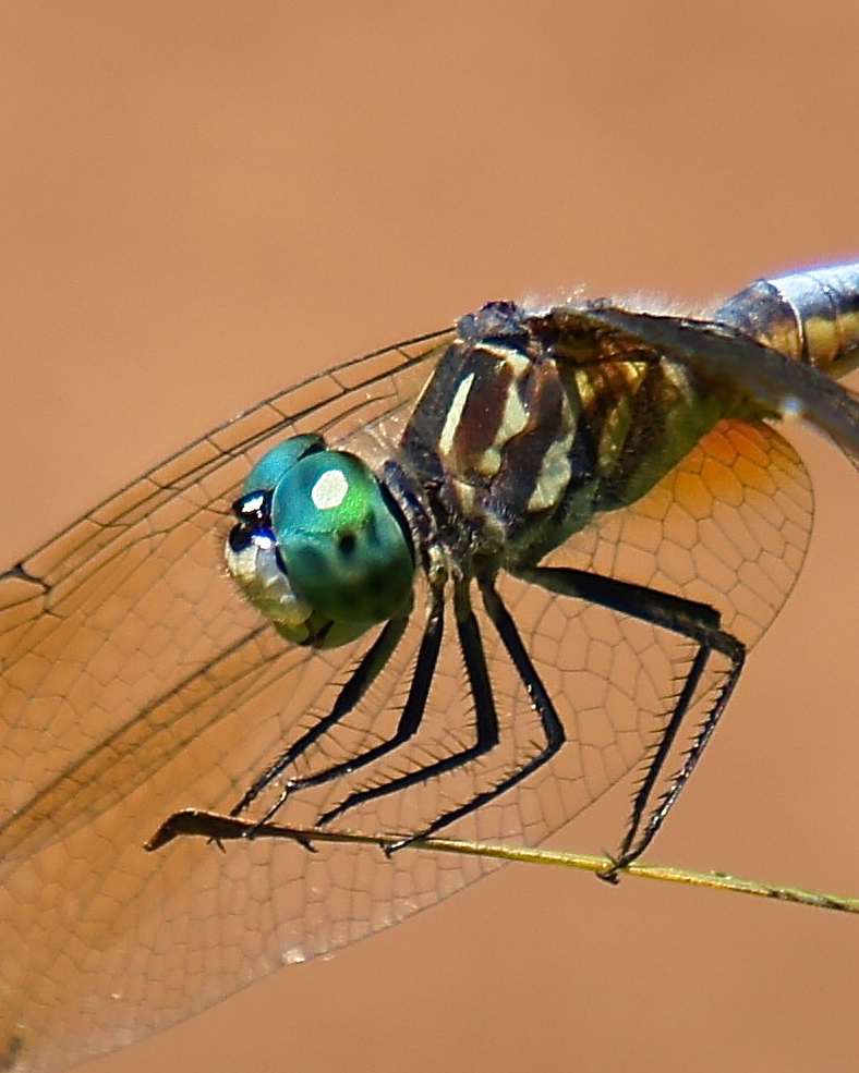 Another brightly colored dragonfly