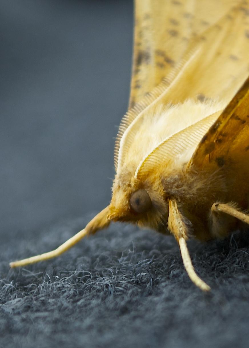 Passenger moth's face