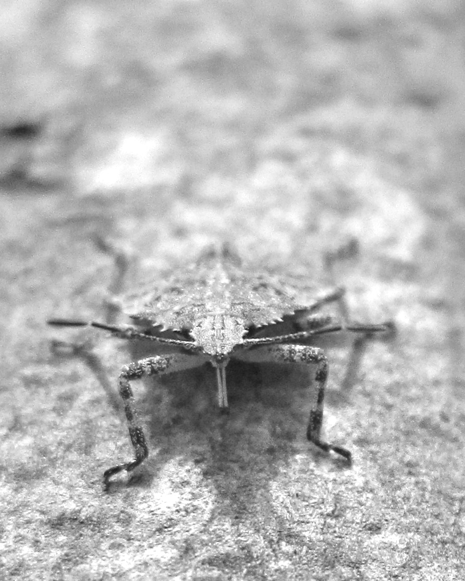 Stink bug, head on...