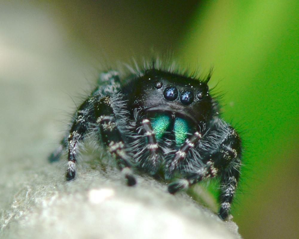 Jumpting spider demanding more lens time