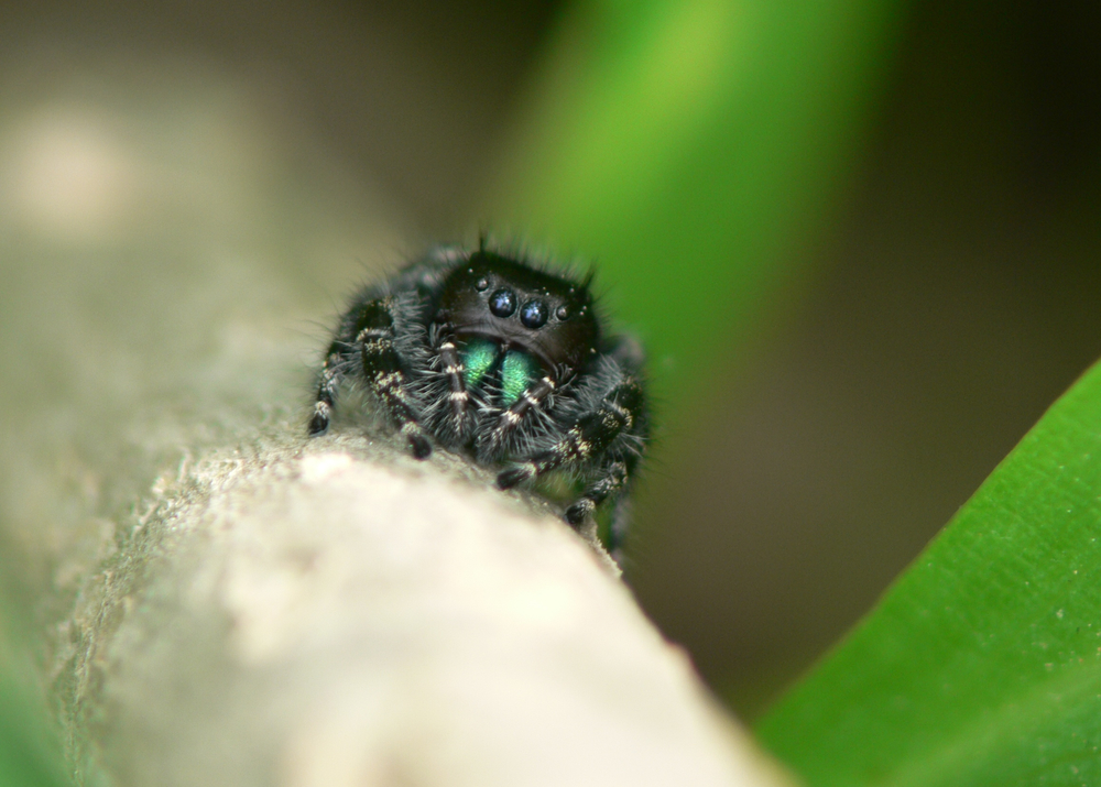 Jumping Spider with teal palps