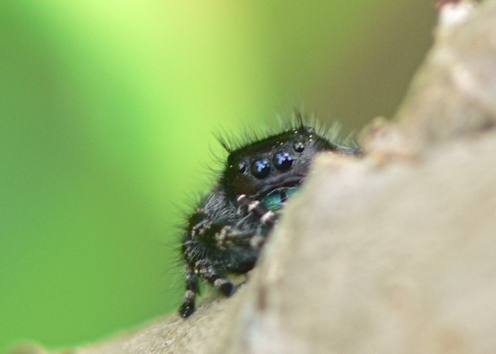 Peek-a-boo jumping spider
