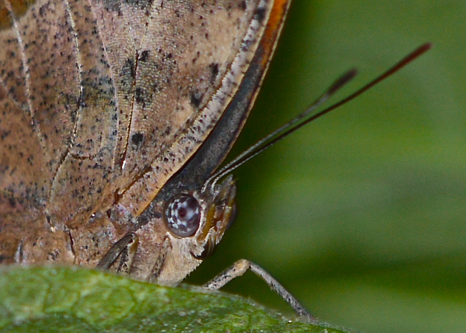Checkerboard eyes of the leaf mimic butterfly