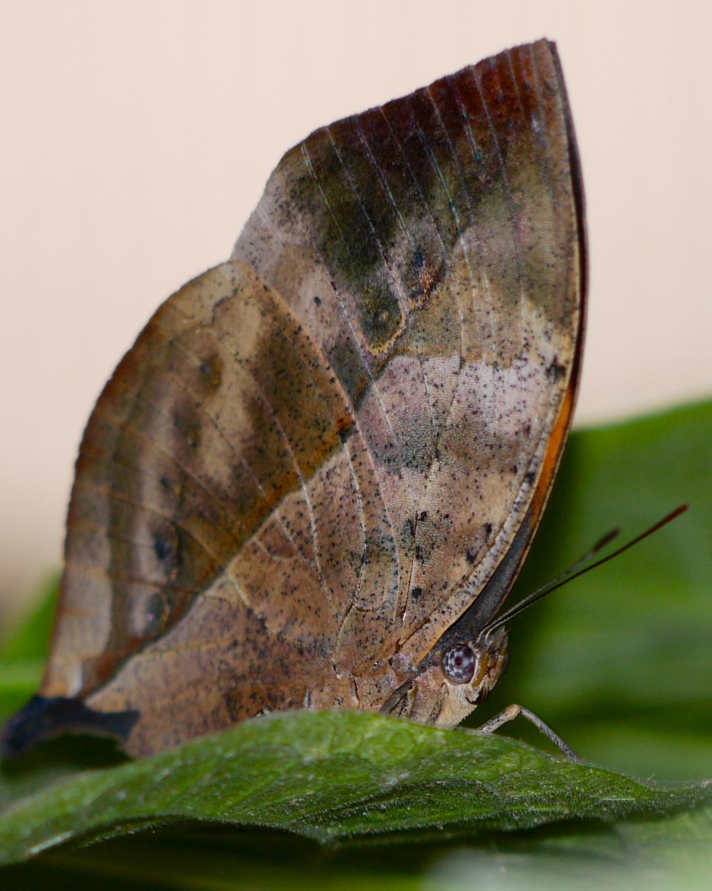 Leaf Mimic Butterfly
