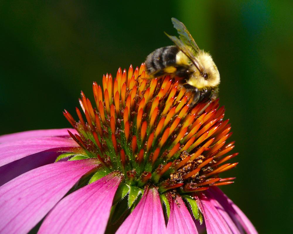 Bee, on echinaecea