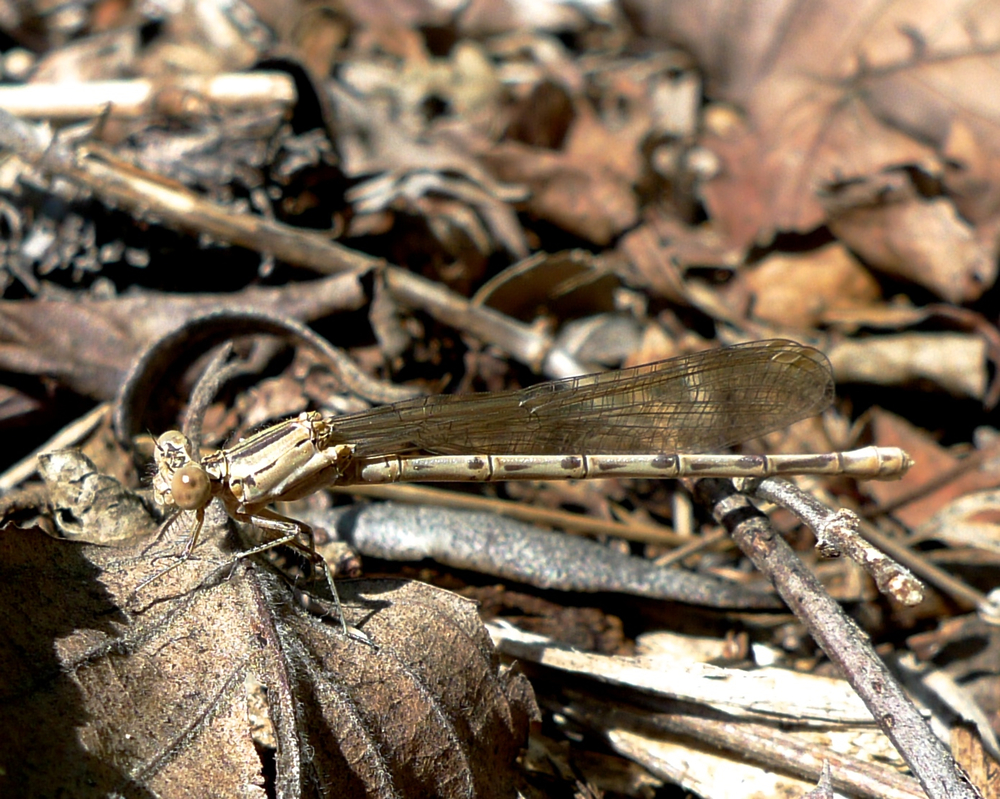 Find the damselfly!