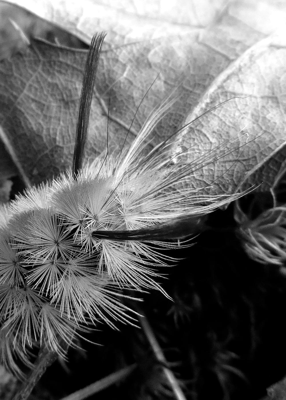 Dagger Moth Caterpillar Face Close-up