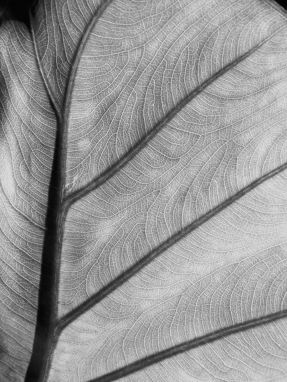 Tropical Leaf detail - black & white