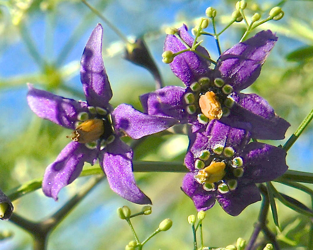 Nightshade flowers