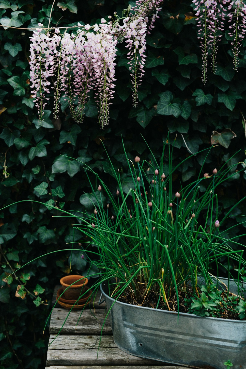wisteria and chives | dolly and oatmeal