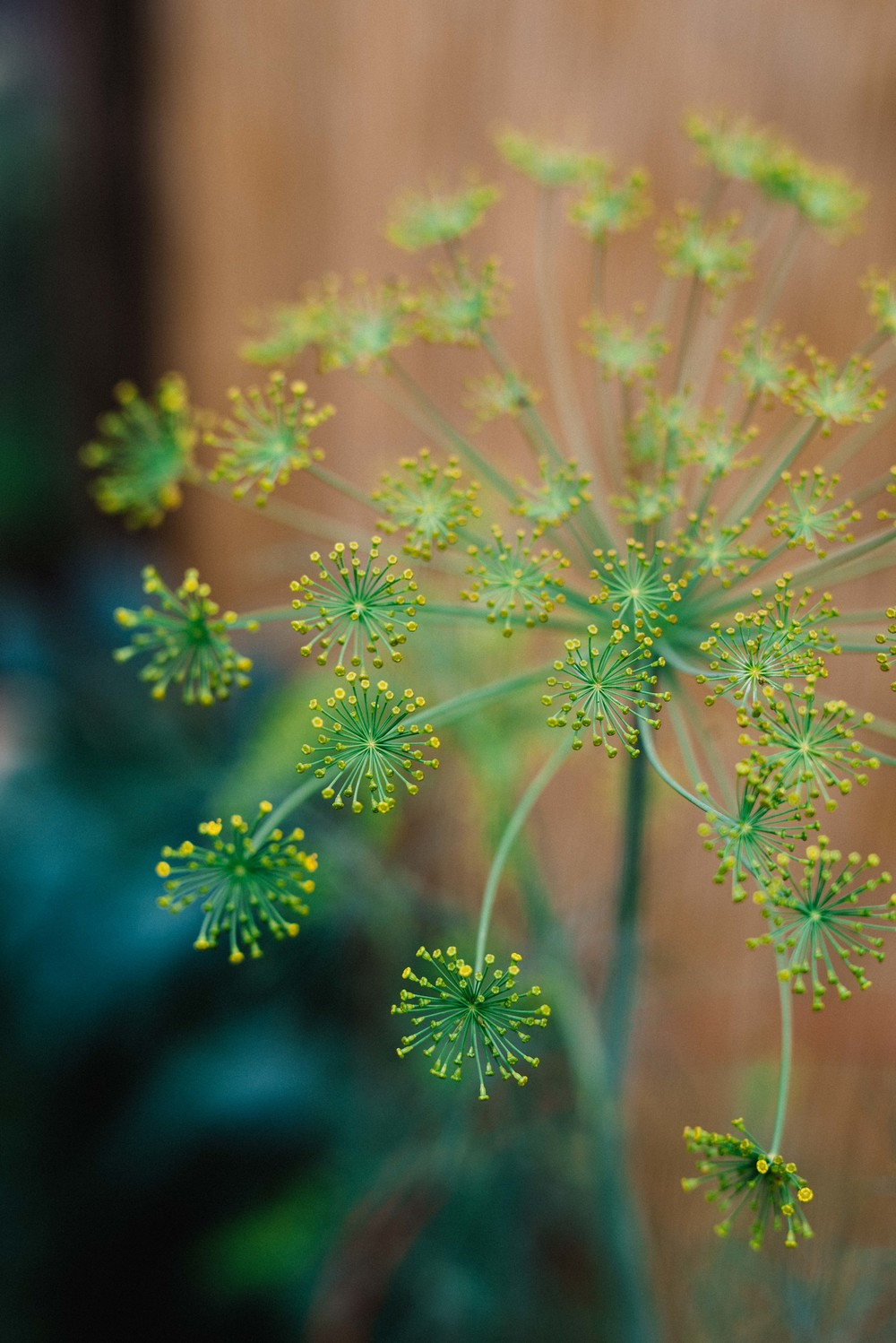 Dill flowers | dolly and oatmeal