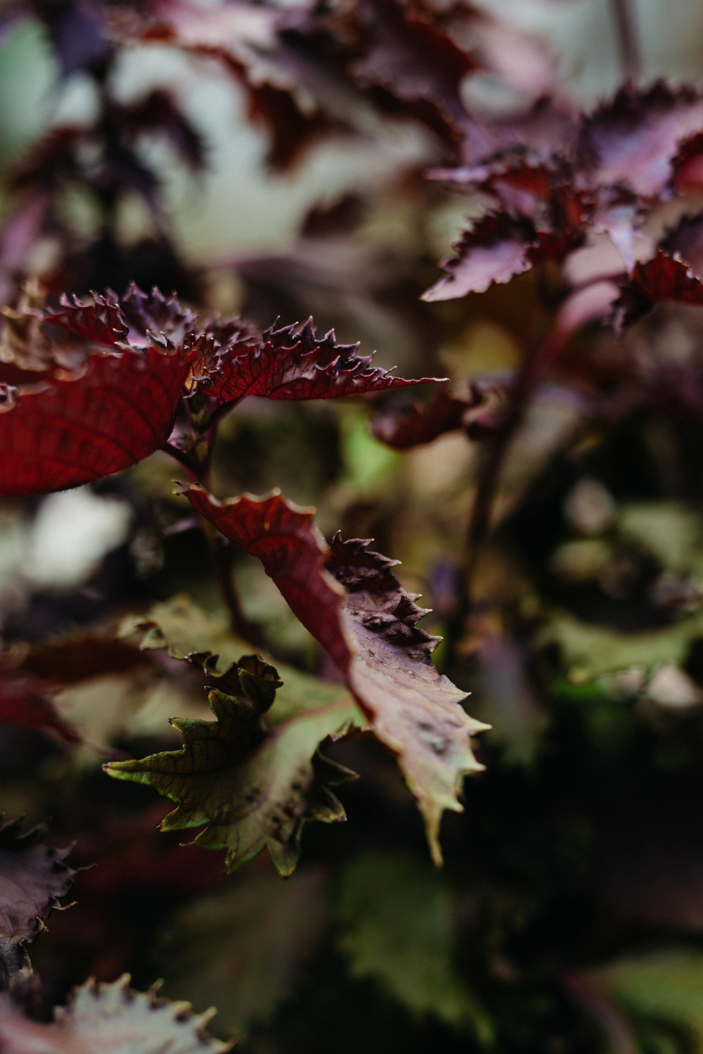 shiso | dolly and oatmeal