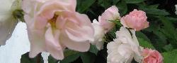 Ireland Roses.JPG