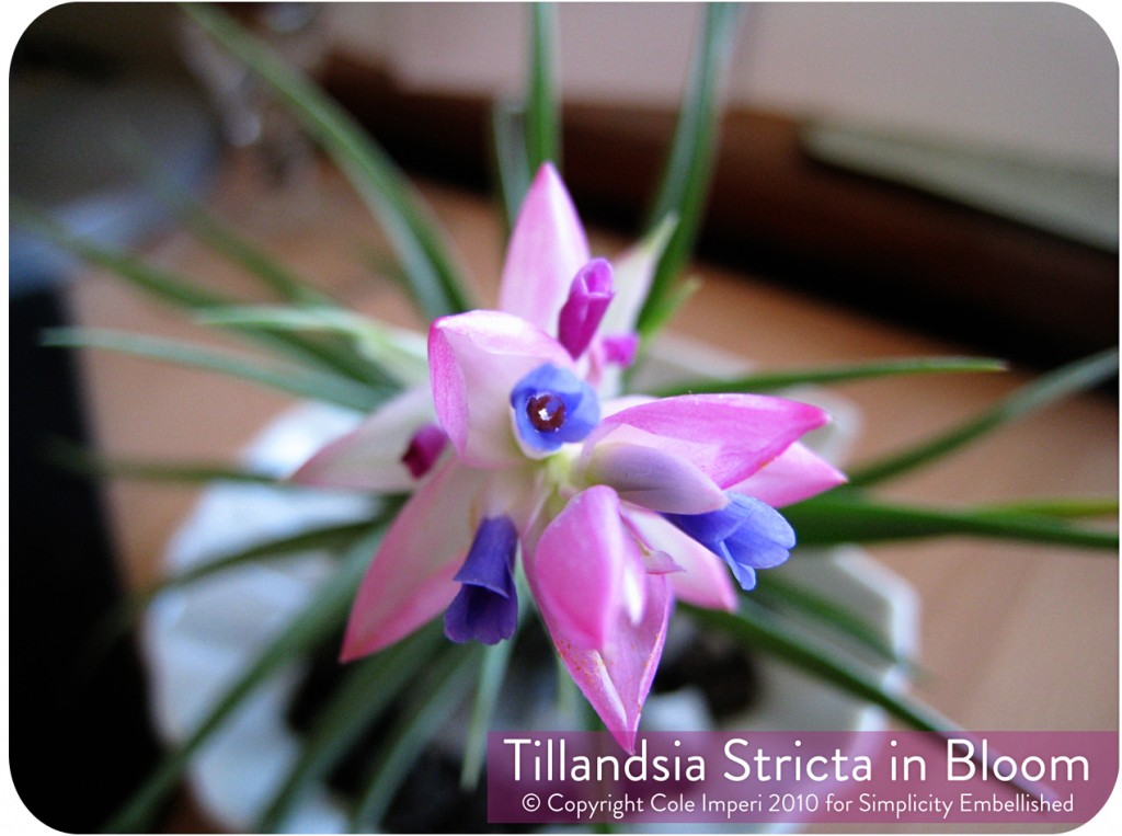 Tillandsia_Stricta_Bloom