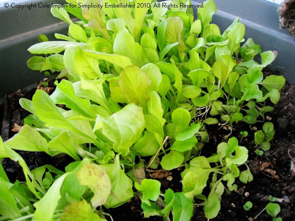 Garden_lettuce2