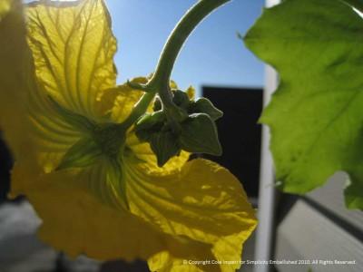 Luffa flower buds