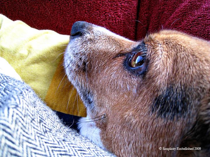 beagle terror