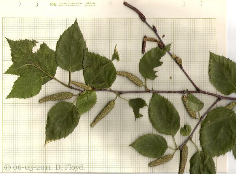 Betula papyrifera specimen A_ scan 4.jpeg