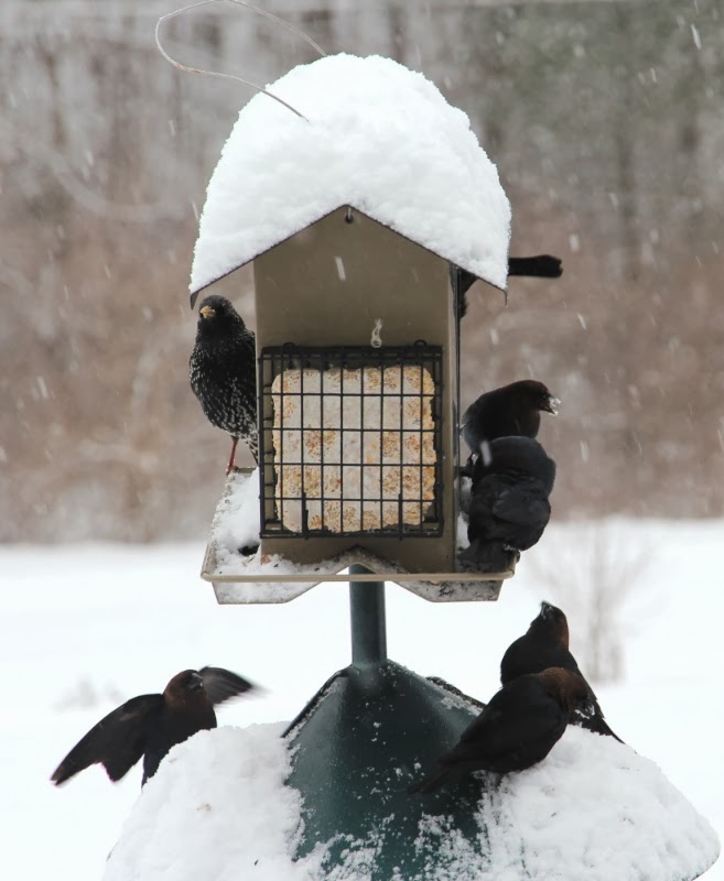 Starling&Cowbirds_3_7_14.jpg