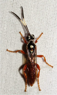 Cratichneumon_sp_9_5_13.jpg