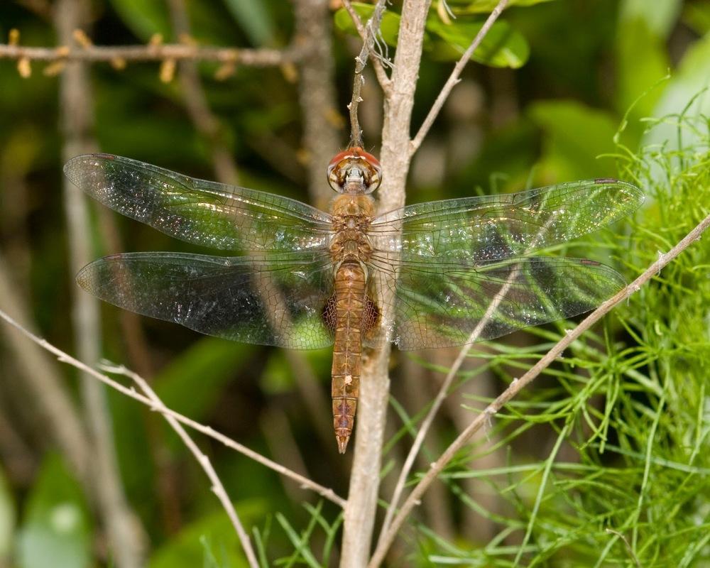 Spot-winged+Gldr+D+ChrlstnSC+051308.jpg